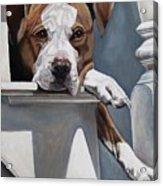 Pitbull Stare Acrylic Print