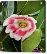 Pitch Apple Blossom Acrylic Print