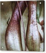 Pitcher Flower Sarracenia Acrylic Print