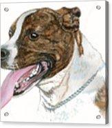 Pittbull Dog Acrylic Print