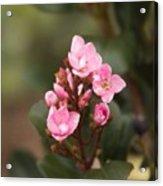 Pittosporum Pink 2 Acrylic Print