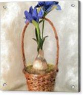 Plain Blue Iris Acrylic Print