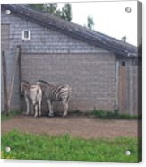 Plains Zebras In The Corner Acrylic Print