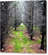 Planted Spruce Forest Acrylic Print