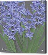 Plaster Hyacinth Acrylic Print