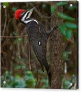 Plastic Wrapped Pileated Woodpecker Acrylic Print