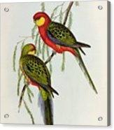 Platycercus Icterotis Acrylic Print