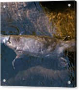 Platypus Acrylic Print
