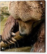 Play With Me Grizzly Acrylic Print
