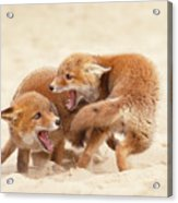 Playfighting Red Fox Kits Acrylic Print