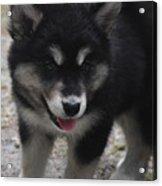 Playful Alusky Puppy Dog Ready To Pounce Acrylic Print