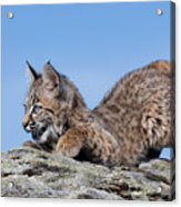 Playful Bobcat Kitten Acrylic Print