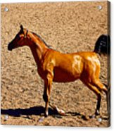 Playful Canter Acrylic Print