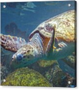 Playful Green Sea Turtle Acrylic Print