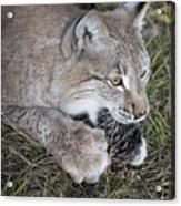 Playful Lynx Acrylic Print
