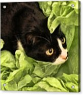 Playful Tuxedo Kitty In Green Tissue Paper Acrylic Print