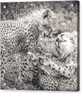 Playtime In Africa- Cheetah Cubs Acinonyx Jubatus Acrylic Print