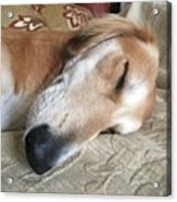 Please Be Quiet. Saluki Acrylic Print