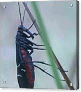 Plecopteran on grass stem Acrylic Print