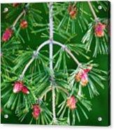 Plentiful Pine Acrylic Print