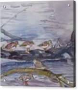 plovers in Jost VanDyke Acrylic Print