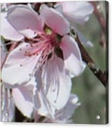 Plum Bloom Acrylic Print by Rosalie Klidies