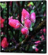 Plum Blossom 1 Acrylic Print