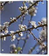 Plum blossom in the sky Acrylic Print
