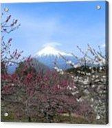 Plum Blossom's At Iwamoto Japan Acrylic Print