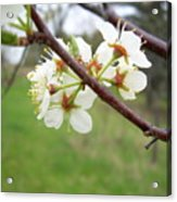 Plum Blossoms In Spring Acrylic Print