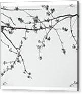 Plum Blossoms  Acrylic Print