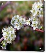 Plum Tree Blossoms Acrylic Print