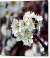 Plum Tree Blossoms II Acrylic Print