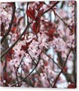 Plum Tree In Bloom Acrylic Print