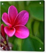 Plumeria - Royal Hawaiian Acrylic Print