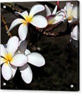 Plumeria 1 Acrylic Print