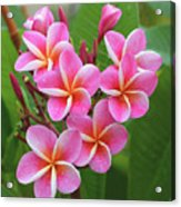 Plumeria After The Rain II Acrylic Print