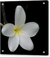 Plumeria Blossom Acrylic Print