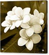 Plumeria - Brown Tones Acrylic Print