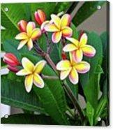 Plumeria Flowers 5 Acrylic Print