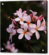 Plumeria Flowers Acrylic Print