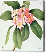 Plumeria Acrylic Print by Georg Dionysius Ehret