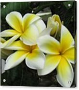 Plumeria In Yellow 3 Acrylic Print