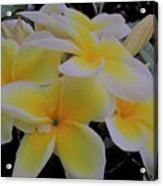 Plumeria In Yellow 4 Acrylic Print