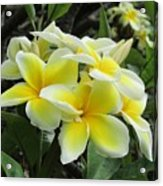 Plumeria In Yellow  5 Acrylic Print