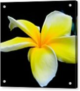 Plumeria In Yellow Acrylic Print