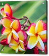 Plumeria Rainbow Acrylic Print