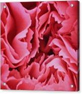 Plush Lush Rose Acrylic Print
