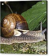 Pneumostome Of A Burgundy Snail Acrylic Print