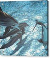 Pod Of Dolphins Acrylic Print